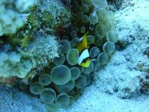 Anemon, clownfish och räka arkivfoto