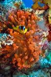 anemon czerwień obraz stock