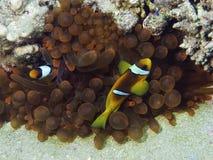Anemon de mer avec des poissons d'anemon. Images libres de droits