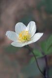 Anemon di montagna Royaltyfria Foton