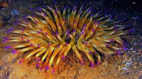 anemon för ‹för †för havs Arkivfoton