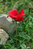 Anemon för blommande blomma för vår en röd bland stenar Royaltyfri Bild