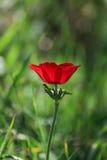 Anemon för blommande blomma för vår en röd bland stenar Fotografering för Bildbyråer