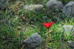 Anemon för blommande blomma för vår en röd bland stenar Royaltyfri Foto