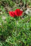 Anemon för blommande blomma för vår en röd bland stenar Royaltyfria Foton