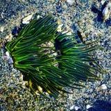 Anemon för grönt hav! Arkivfoton
