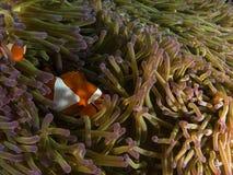 Anemon-fisk och anemon royaltyfria bilder