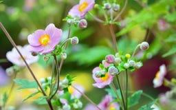 anemon kwitnie japończyka zdjęcia royalty free
