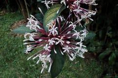 Anemon kwitnie w kwiacie fotografia royalty free