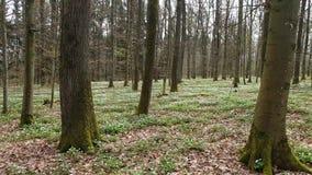 Anemon kwitnie w lesie w wiośnie zbiory wideo