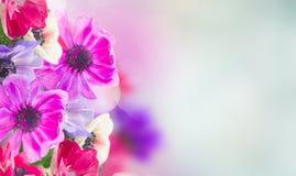 Anemon kwitnie w ogródzie zdjęcia royalty free