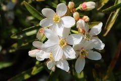 Anemon kwitnie w ogródzie obraz stock