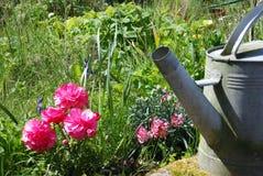 Anemon kwitnie z podlewanie puszką zdjęcia stock