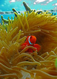 anemon nemo ψαριών Στοκ φωτογραφία με δικαίωμα ελεύθερης χρήσης