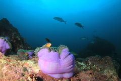 Anemon och korall Royaltyfri Foto