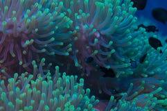 Anemon på en korallrev Arkivfoton