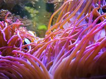 Anemon w akwarium blisko Ruhpolding zdjęcia stock
