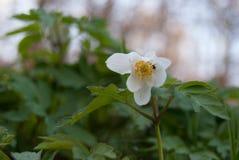 Anemon w lesie przy wiosną zdjęcia stock