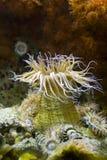 anemona Arkivbilder