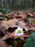 Anemona atrasado da flor do outono na floresta fotografia de stock