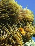 Anemona y pescados del payaso Foto de archivo libre de regalías