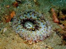 anemonakvarium inget hav som tas wild Arkivbild