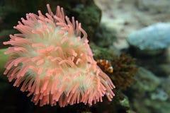 anemonakvarium inget hav som tas wild Fotografering för Bildbyråer
