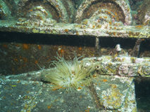 anemonakvarium inget hav som tas wild Royaltyfri Bild