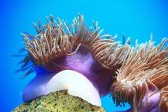 anemonakvarium inget hav som tas wild Royaltyfri Fotografi