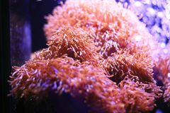 anemonakvarium inget hav som tas wild Arkivbilder