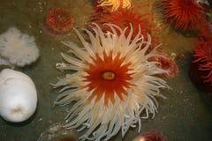 anemonakvarium inget hav som tas wild Arkivfoton