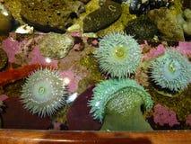 anemonakvarium inget hav som tas wild jpg Fotografering för Bildbyråer
