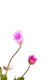 anemonbakgrundswhite Arkivbild