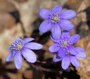 Anemonblåsippa Royaltyfria Foton