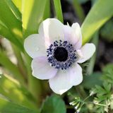 Anemonblomma, vit med lilor under gröna växter Arkivfoto