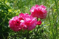 Anemonblommor Royaltyfria Bilder
