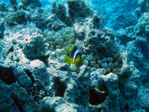 anemonclownfisk Arkivfoton