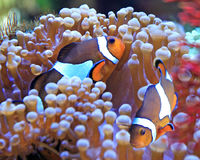 anemonclownfisk Royaltyfria Foton
