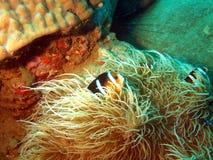 anemonclownfisken skyddar Arkivbilder