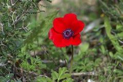 Anemone, άγριο λουλούδι Στοκ Εικόνες