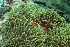 anemone ένα άλλο ψάρι Στοκ Φωτογραφίες