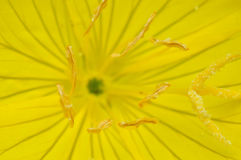 Anemone, αέρας-λουλούδι Στοκ Εικόνες