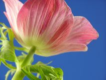 anemone γαλλικά Στοκ φωτογραφία με δικαίωμα ελεύθερης χρήσης