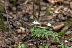 Anemone δασικό λευκό άνοιξη λουλουδιών Στοκ εικόνα με δικαίωμα ελεύθερης χρήσης