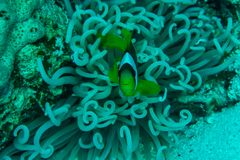 Anemone θάλασσας και ψάρια κλόουν στη Ερυθρά Θάλασσα κοραλλιών σκοπέλων υποβρύχια Στοκ φωτογραφία με δικαίωμα ελεύθερης χρήσης