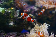 Anemone θάλασσας και ψάρια κλόουν στο θαλάσσιο ενυδρείο πρόσκληση συγχαρητηρίων καρτών ανασκόπησης Στοκ Φωτογραφία