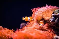 Anemone θάλασσας και ψάρια κλόουν στο θαλάσσιο ενυδρείο Στοκ Εικόνες