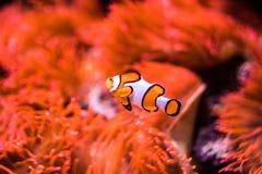 Anemone θάλασσας και ψάρια κλόουν στο θαλάσσιο ενυδρείο Στοκ φωτογραφία με δικαίωμα ελεύθερης χρήσης