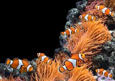 Anemone θάλασσας και ψάρια κλόουν Στοκ Εικόνα