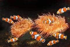 Anemone θάλασσας και ψάρια κλόουν Στοκ εικόνες με δικαίωμα ελεύθερης χρήσης